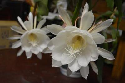 花名の月下美人は、花の名前を聴かれた時にとっさに月下の美人と答えられた事からこの名前になったそうです。