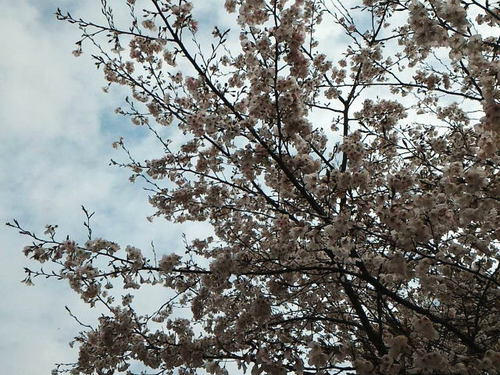 バンコcafe vol.13 桜満開
